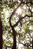 Live Oka Tree in Savannah, GA. Sun shining through moss on a Live Oak tree in historical Savannah, Georgia Royalty Free Stock Image