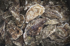 Live oysters  bivalve molluscs in cold water. Oysters, bivalves in cold water Royalty Free Stock Photo