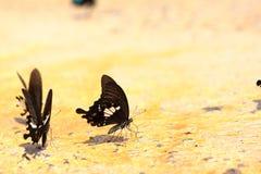 Papilio (Menelaides) nephelus Boisduval or Black and White Helen Royalty Free Stock Photography