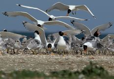 Live in A palla`s gulls colony. Adult birds and their chicks Royalty Free Stock Image
