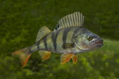 Free Live Perch Fish Isolated On Natural Green Background Stock Photo - 126139210