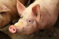 Live pigs in a farm Stock Photo