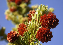 Live Pine Cones on Branch. Pretty little assortment of live pine cones (conifer) growing on the branch and rich blue sky for a background. Great for live nature Royalty Free Stock Photo