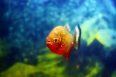 Piranha on blurred background royalty free stock photo