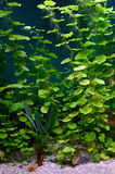 Plants in aquarium. Live plants in the aquarium Royalty Free Stock Photography