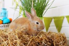 Live rabbit Royalty Free Stock Photography