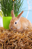 Live rabbit on the hay Royalty Free Stock Image