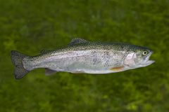 Live Rainbow trout fish isolated on natural green background stock photo