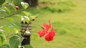 Live Red Hibiscus Flower Plant Gudhal blommaväxt stock video