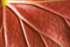Live red leaf, macro background Royalty Free Stock Photography