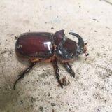 Live rhinoceros beetle stock photo