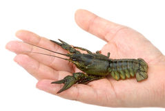 Live river crayfish in hand Stock Images