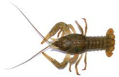 Live river crayfish  Royalty Free Stock Photos