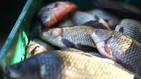 Live river fish in a box. Is breathing stock footage