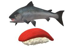 A live salmon fish and a slice of salmon sushi dish royalty free stock photos