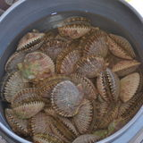 Freshly harvested bay scallops  Royalty Free Stock Photos