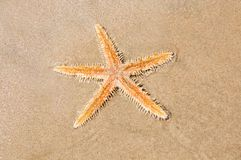 Live Sea star in the sand Stock Photos