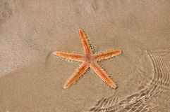 Live Sea star in the sand Royalty Free Stock Image