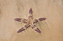 Live Sea star in the sand Stock Image
