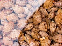 Large live seashells in water royalty free stock image