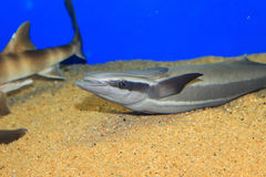 Live sharksucker. (Echeneis naucrates) in Japan royalty free stock image