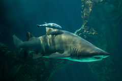 Live sharksucker and sand tiger shark. Live sharksucker Echeneis naucrates and the sand tiger shark Carcharias taurus, also known as the grey nurse shark Royalty Free Stock Photos