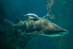 Live sharksucker and sand tiger shark. Live sharksucker Echeneis naucrates and the sand tiger shark Carcharias taurus, also known as the grey nurse shark stock photos