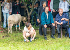 Live sheep - the main prize at the competitions in the village of Bulgarians at the Nestenkar Games, Bulgaria Stock Photography