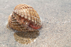 Live shell, Cardium. On the beach showing orange foot Stock Image