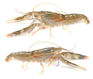Live Shrimp Royalty Free Stock Photography