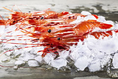 Live Shrimp on Dock. Freshly caught shrimp in ice on fishing dock Royalty Free Stock Photos