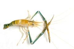 Live Shrimp. Isolate white background Stock Photo