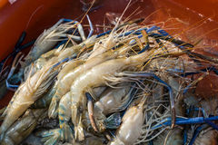 Live shrimp for sale. Live fresh water shrimp for sale in seafood market Royalty Free Stock Photo