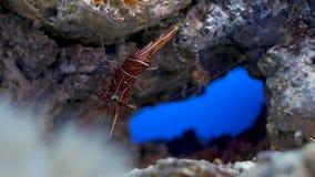 Live Shrimp underwater