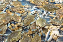 Live slue crabs at supermarket in Houston, Texas, USA Royalty Free Stock Images