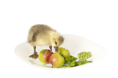 The live small goose on a plate with apples Stock Photo