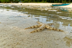 A Live Small Starfish Royalty Free Stock Image