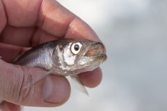 Live smelt fish in hand closeup Royalty Free Stock Image