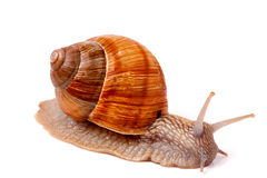 Live snail crawling on a white background close-up macro Stock Image