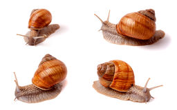 Live snail crawling on white background close-up macro. Set or collection Stock Images