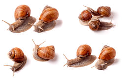 live snail crawling on white background close-up macro. Set or collection Royalty Free Stock Image
