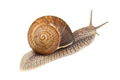 Live snail Royalty Free Stock Images