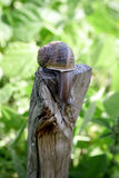 Live snail on a wooden post Royalty Free Stock Images