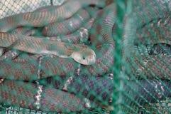 Live snake Royalty Free Stock Photos