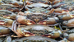 Live soft-shell crab Stock Image