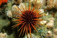 Live specimen of Caribbean reef urchin underwater. Live specimen of a reef urchin, Echinometra viridis, underwater in the Caribbean sea, Panama Stock Photo