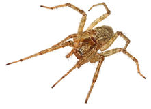 Live spider isolated on white background. Royalty Free Stock Photos