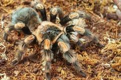 Live spider (tarantula) Stock Photography