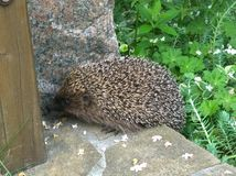 Live spiny hedgehog in the garden stock images