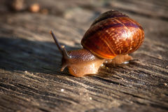 Live spiral snail on an old wooden surface closeup Royalty Free Stock Photos